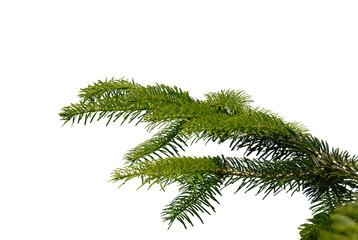 gałązka, twig