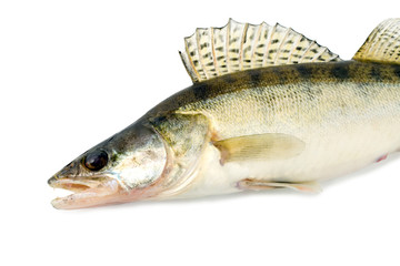 fish walleye zander pike-perch