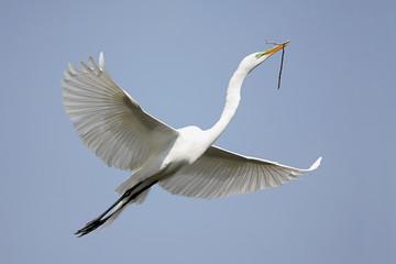 Fotoväggar - Great Egret (Ardea alba)
