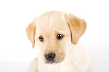 Puppy Labrador retriever portrait