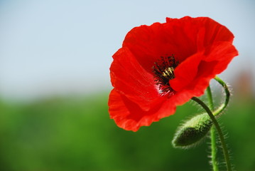 Single poppy in Normandy