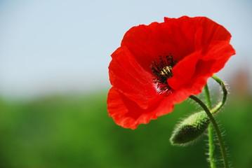 Foto op Plexiglas Klaprozen Single poppy in Normandy