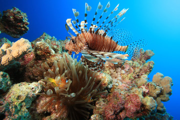 Lionfish and Anemone