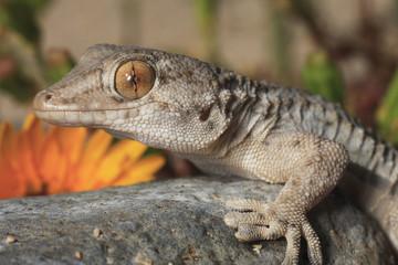 Tarentola mauritanica (gecko)