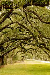 Oak Limbs Over Grassy Lane