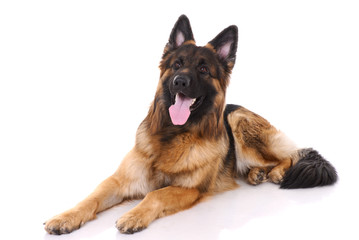 German shepherd on a white background.
