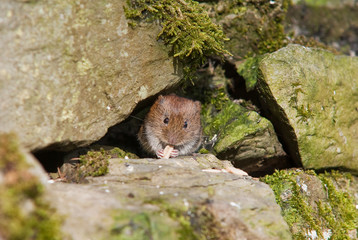 Short-Tailed Vole (Microtus agrestis)
