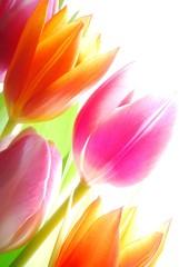 Poster de jardin Macro Spring tulips