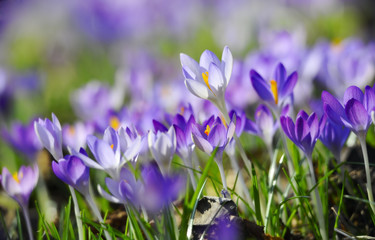 Photo sur Plexiglas Crocus Krokuswiese