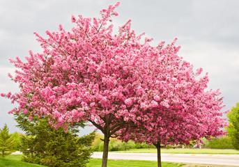 Two Flowering Redbud Trees