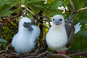 Red footed booby and chick, Sula sula, Palmyra Atoll.