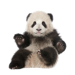 Zelfklevend Fotobehang Panda Giant Panda (6 months old) - Ailuropoda melanoleuca