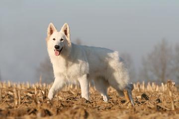 le beau berger blanc suisse en mouvement à la campagne