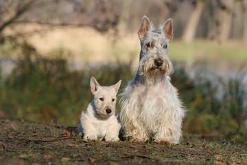 famille de scottish terrier blancs en promenade