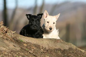 contraste de deux chiots scottish terrier de face noir + blanc
