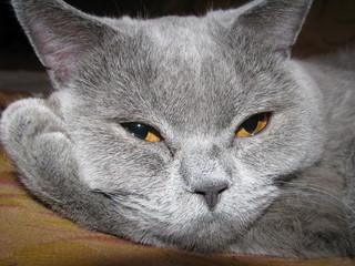 Gray beauty cat