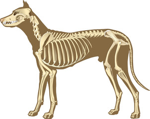 dog skeleton
