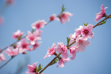flowers on branches of peach