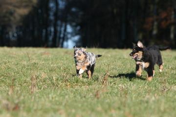 deux beaux bergers australiens chiots courent à la campagne