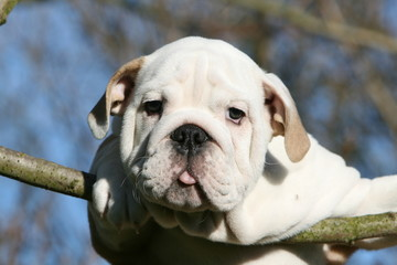 chiot bulldog anglais comme un oiseau sur une branche