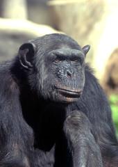 Foto op Canvas Aap Chimpance