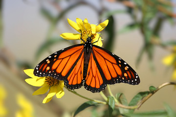 Fotoväggar - Monarch Butterfly (danaus plexippus) in spring