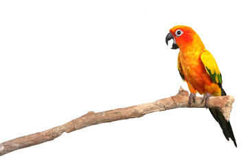 Sun Conure Parrot Screaming on a Branch