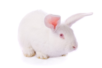 Timid young white rabbit isolated on white background