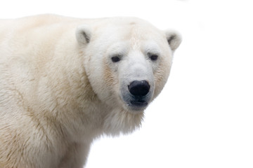 Papiers peints Pôle Polar bear isolated on white