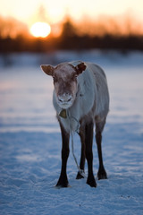 Reindeer and a sunset