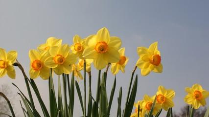 Spring daffodils against blue sky