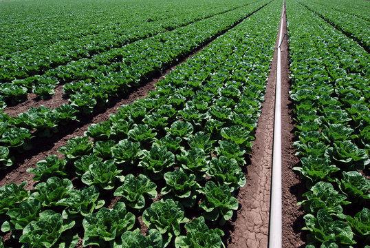 Irrigating spinach fields
