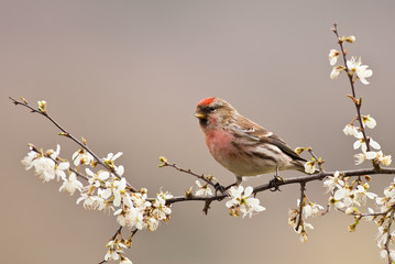 Male Common Redpoll ( Carduelis Flammea) on Hawthorn Blossom