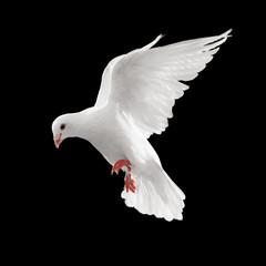 Wall Mural - dove in flight