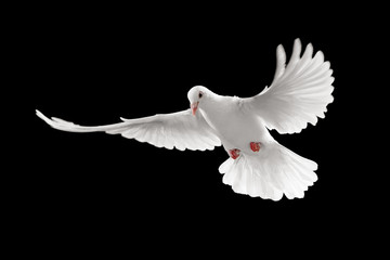 Wall Mural - white pigeon