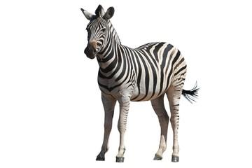 Poster Zebra Zebra - Isolated