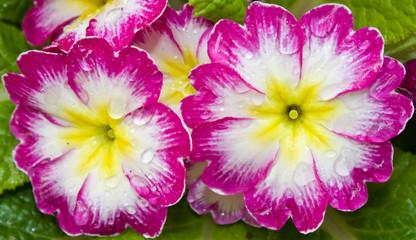 Wet Primroses (Primula vulgaris)