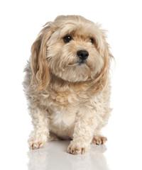 maltese dog (7 years old)
