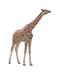 Giraffe kissing cutout