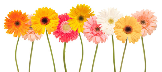 colorful daisy flowers