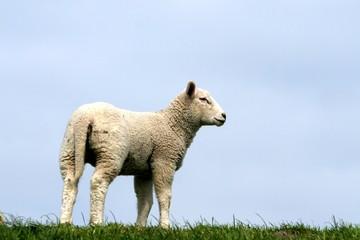 Acrylic Prints Sheep tier