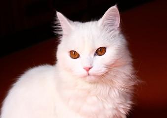 Sad white cat