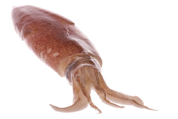 Fresh Squid Isolated