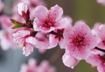 azalea spring blossom
