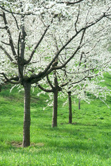 Orchard - spring trees
