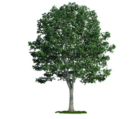 isolated tree on white, Linden (Tilia)