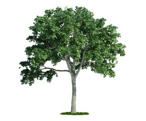 isolated tree on white, Elm (Ulmus)