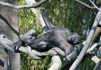 Playful Gorilla
