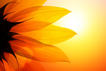 Wall Mural - Sunflower at sunset, closeup.