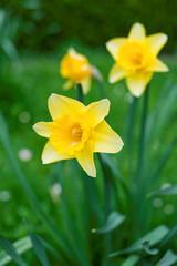 Garden Poster Narcissus Osterblumen